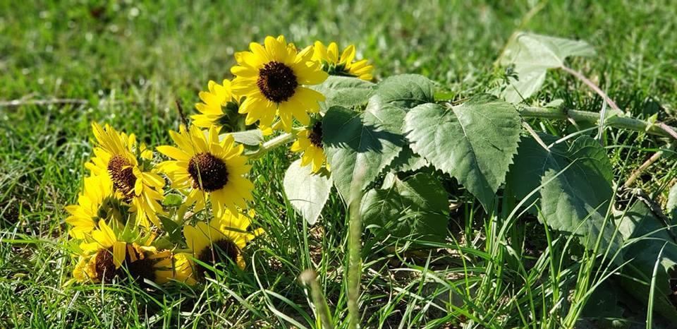 Down Sunflower